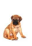 Bull-terrier du Staffordshire, 3 mois avec le collier rouge, d'isolement sur le blanc Photos libres de droits