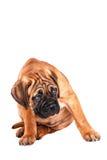 Bull-terrier du Staffordshire, 3 mois avec le collier rouge, d'isolement sur le blanc Photographie stock libre de droits