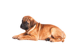 Bull-terrier du Staffordshire, 3 mois avec le collier rouge, d'isolement sur le blanc Images stock