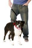 Bull-terrier du Staffordshire sur l'avance Photographie stock