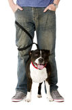 Bull-terrier du Staffordshire sur l'avance Images libres de droits