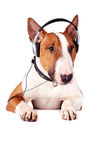 Bull terrier in earphones Stock Photo