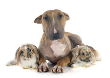 Bull terrier en konijn Royalty-vrije Stock Foto's
