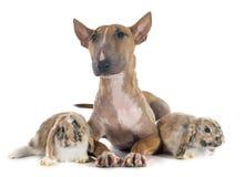 Bull terrier en konijn Royalty-vrije Stock Afbeelding