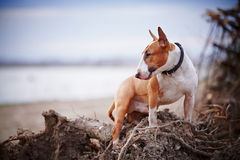 Bull terrier Stock Photos