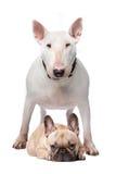 Bull-terrier et bouledogue français Image stock