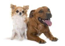 Bull-terrier et chiwawa de Stafforshire Images libres de droits