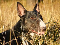 Bull terrier at the field Royalty Free Stock Images