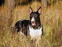 Bull terrier at the field. Black and white bull terrier at the field Royalty Free Stock Image