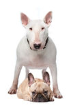 Bull terrier and French bulldog stock image
