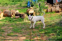 Bull Terrier in garden, white dog is playing Royalty Free Stock Image