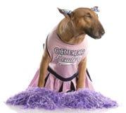 Bull-Terrier gekleidet als Cheerleader lizenzfreies stockbild