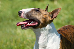Bull terrier on  grass Stock Images