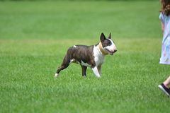 Bull terrier having fun with it`s family. The bull terrier may be head strong but with training the breed can be a great family pet Stock Photography