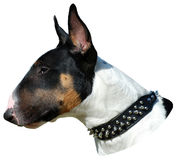 Bull terrier head portrait Stock Photo