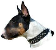 Bull terrier head portrait stock photo