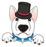 Bull terrier infelice con black hat Fotografia Stock Libera da Diritti