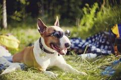 Bull terrier inglés en gafas de sol tiene un resto al aire libre Foto de archivo