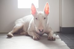 Bull terrier inglés que miente en el piso con la luz detrás de ella foto de archivo libre de regalías