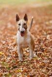 Bull terrier inglese Fotografia Stock Libera da Diritti