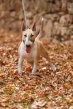Bull terrier inglese Immagine Stock Libera da Diritti