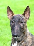 Bull terrier inglese Fotografia Stock