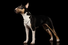 Bull terrier on isolated Black background Royalty Free Stock Images