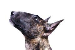 Bull terrier isolerade på vit arkivbilder