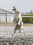 Bull terrier jumping and playing in water Stock Image