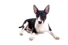 Bull terrier kobieta zdjęcie royalty free