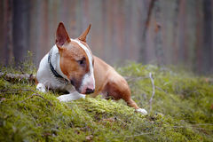 Bull terrier lies in the wood Royalty Free Stock Photo