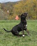 Bull terrier listo para saltar en el parque Fotos de archivo