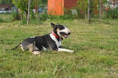 Bull Terrier lying on the grass Stock Photography