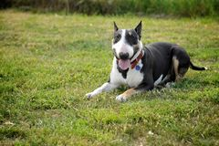 Bull Terrier lying on the grass Stock Photo