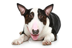 Bull Terrier lying on a white background Royalty Free Stock Photos
