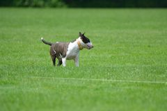Bull terrier having fun with it`s family. The bull terrier may be head strong but with training the breed can be a great family pet Royalty Free Stock Photography
