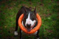 bull terrier med en leksakstående Arkivbilder