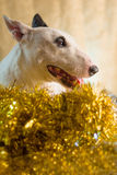 Bull terrier med xmas-belysningbegrepp fotografering för bildbyråer