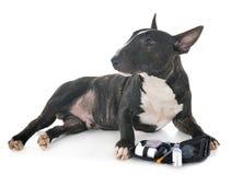 Bull terrier miniatura imagenes de archivo