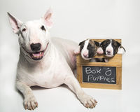 Bull Terrier mom and her puppies. A white bull terrier mom and her two brindle puppies Royalty Free Stock Photo