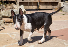 Bull Terrier mom walking through the yard Stock Photos