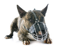 Bull terrier and muzzle Royalty Free Stock Photos