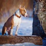 Bull terrier na caminhada no parque. Imagens de Stock