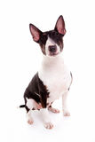 Bull terrier nel fondo bianco Fotografia Stock