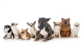 Bull terrier och liten hundkapplöpning royaltyfri bild