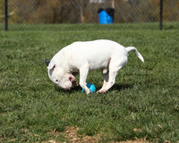 Bull terrier over running a ball at the park Royalty Free Stock Images