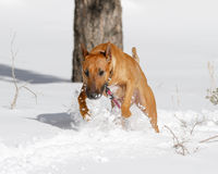 Bull Terrier playing in the snow Stock Images
