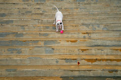 Bull terrier plays with a ball on the stairs Royalty Free Stock Photos