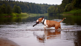 The bull terrier plays with a stick in the river Stock Image