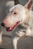 Bull terrier presentation. White bull terrier on a road Royalty Free Stock Photography